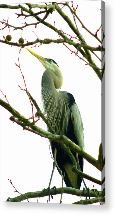 Great Blue Heron Acrylic Print featuring the photograph 040111-418 by Mike Davis