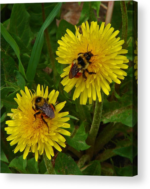 Dandelion Acrylic Print featuring the photograph Dandelions And Bees by Heather Coen