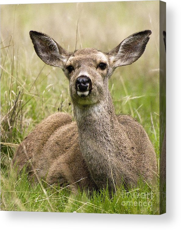 California Scenes Acrylic Print featuring the photograph Doe Eyes by Norman Andrus