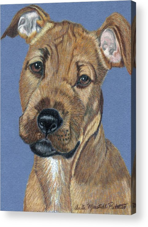 Dog Acrylic Print featuring the painting American Pit Bull Terrier Puppy by Anita Putman