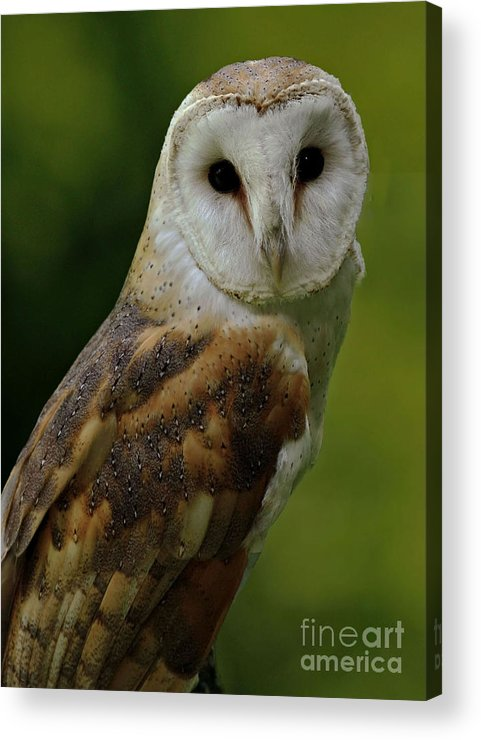 Barn Owl Acrylic Print featuring the photograph Barn Owl by Inspired Nature Photography Fine Art Photography