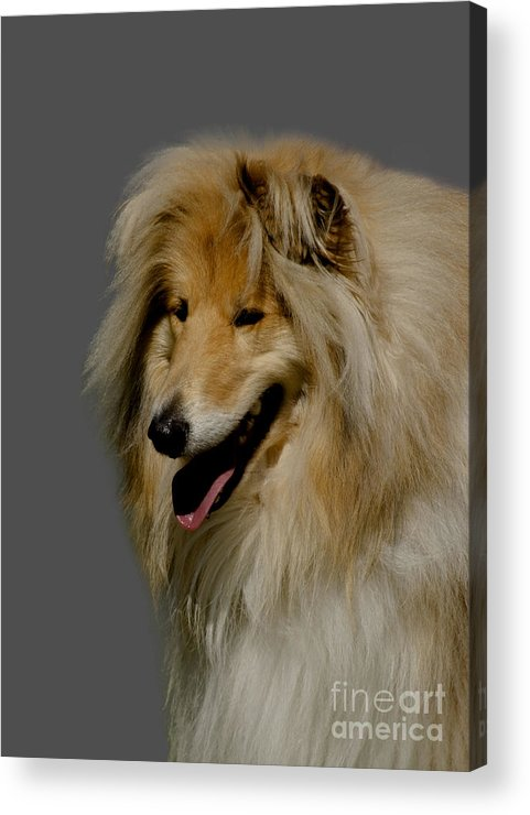 Grey Background Acrylic Print featuring the photograph Collie Dog by Linsey Williams