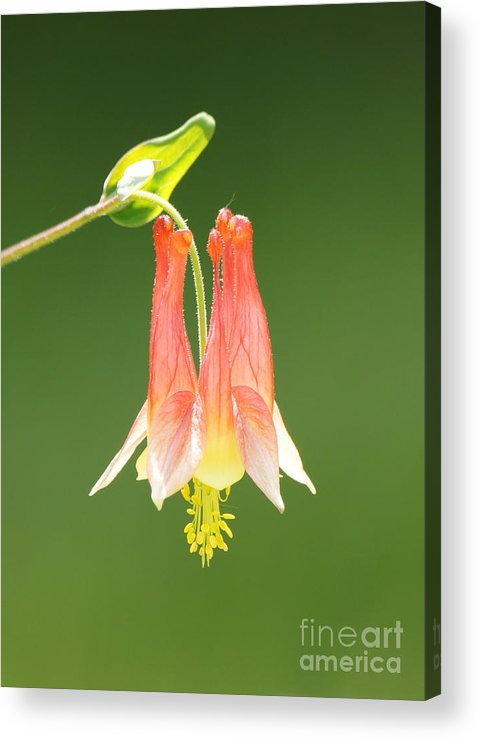 Columbine Flower In Sunlight Acrylic Print featuring the photograph Columbine Flower In Sunlight by Robert E Alter Reflections of Infinity