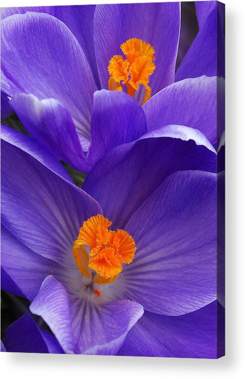 Purple Crocus Flowers Acrylic Print featuring the photograph Contrasting Colors by Kathi Mirto