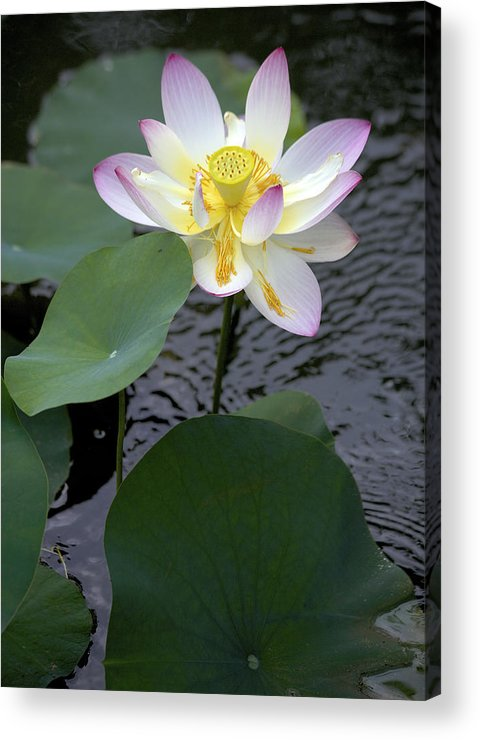 Lotus Blossom Acrylic Print featuring the photograph Greet The Day by Craig Bohanan