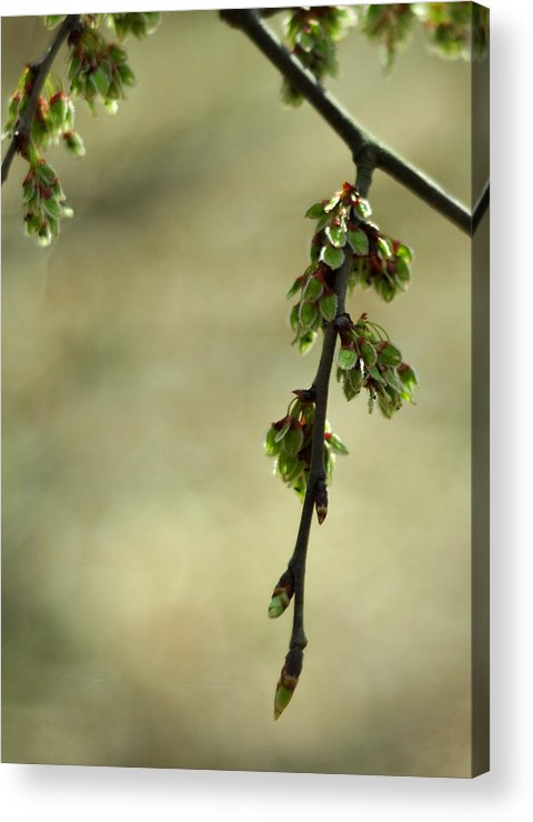 American Elm Tree Acrylic Print featuring the photograph In A Dark And Silent Place by Rebecca Sherman