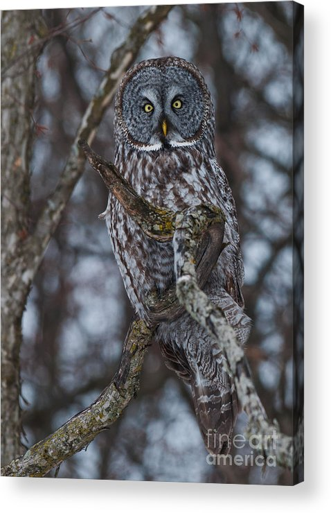 Owls Acrylic Print featuring the photograph Majestic Owl by Cheryl Baxter