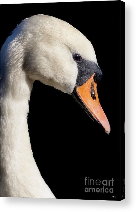 Swans Acrylic Print featuring the photograph Mute Swan by Wobblymol Davis