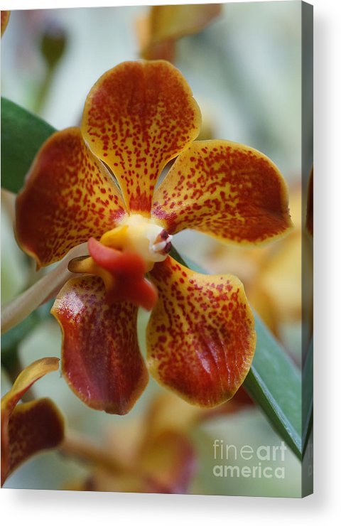 Nature Acrylic Print featuring the photograph Orchid 195 by Rudi Prott