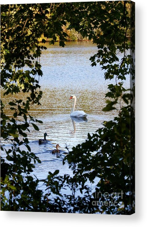 Swan Acrylic Print featuring the photograph Swan And Ducks Through Trees by Carol Groenen