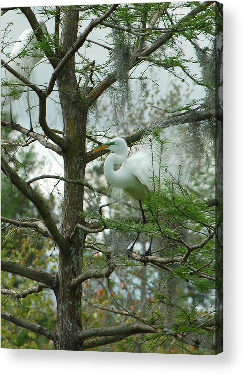 Egret Acrylic Print featuring the photograph The Mating Dance by Suzanne Gaff