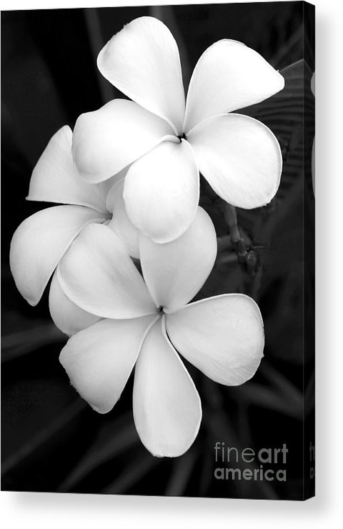 Macro Acrylic Print featuring the photograph Three Plumeria Flowers In Black And White by Sabrina L Ryan