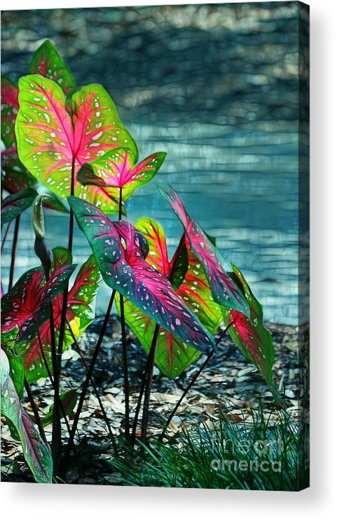 Calladiums Acrylic Print featuring the photograph Calladiums by Judi Bagwell