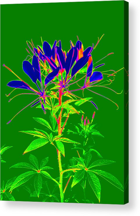 Computer Generated Flower Acrylic Print featuring the photograph Cleome Gone Abstract by Kim Galluzzo Wozniak