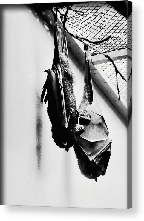 Bat Acrylic Print featuring the photograph Just Hanging Around by Brittany Horton
