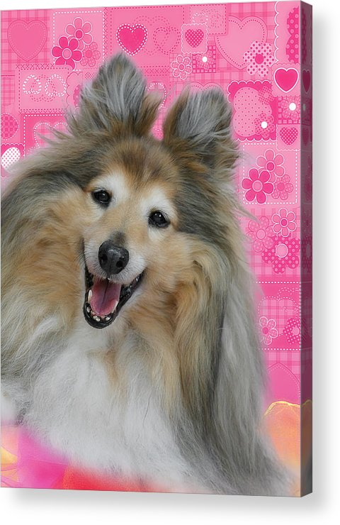 Shelties Acrylic Print featuring the photograph Sheltie Smile by Christine Till