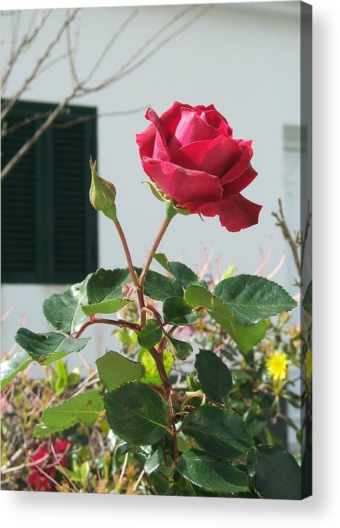 Rose Acrylic Print featuring the photograph Soaking Up The Sun by Patricia Williams