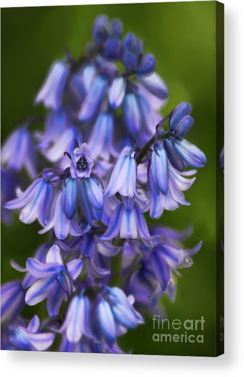 Bluebells Acrylic Print featuring the photograph Virginia Bluebells by Jeff Breiman