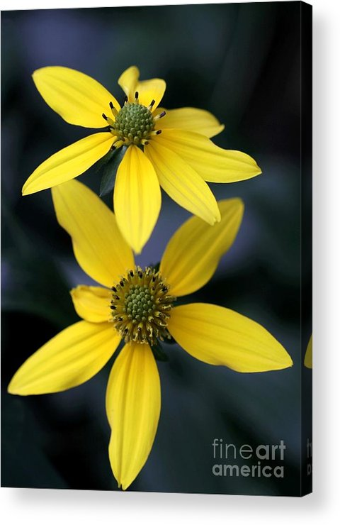 Flower Acrylic Print featuring the photograph Yellow Duet by Sabrina L Ryan