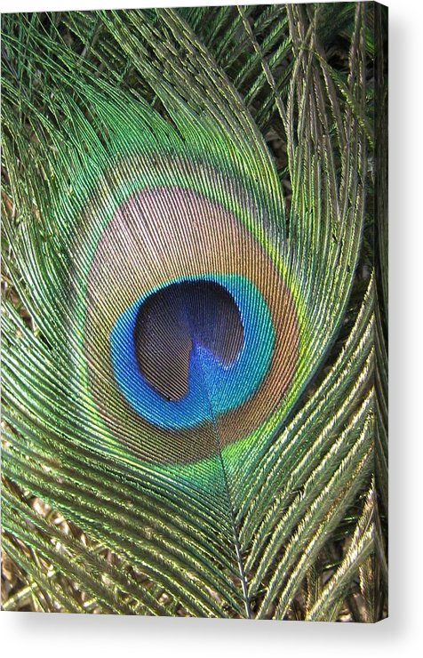 Peacock Acrylic Print featuring the photograph Peacock Feather by Rebecca Shupp