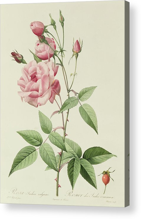Rosa Acrylic Print featuring the drawing Rosa Indica Vulgaris by Pierre Joseph Redoute