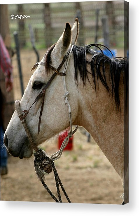 Cowboy Acrylic Print featuring the photograph A Cowboys Partner.. by Carol Miller