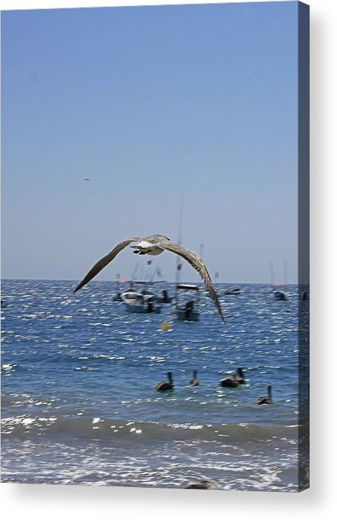 Seagull Acrylic Print featuring the photograph A Seagulll In-flight At Playa Manzanillo by James Connor