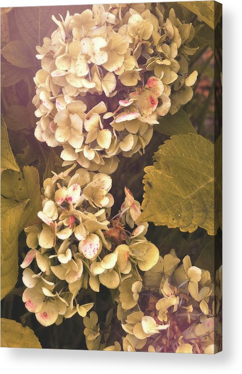 Hydrangea Acrylic Print featuring the photograph Annabelle by JAMART Photography