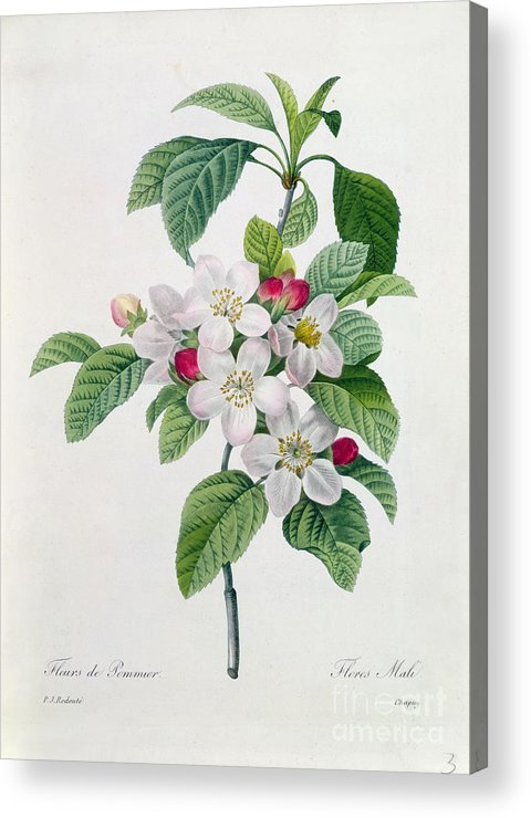 Apple Acrylic Print featuring the painting Apple Blossom by Pierre Joseph Redoute