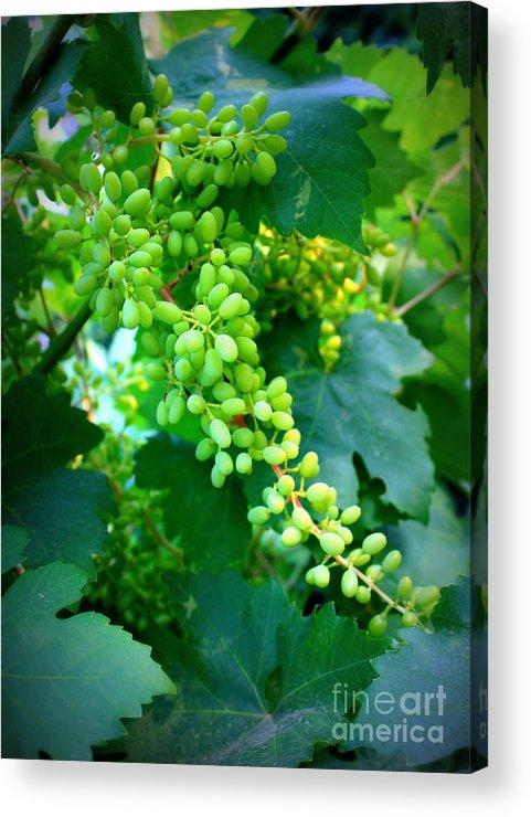 Grapes Acrylic Print featuring the photograph Backyard Garden Series - Young Grapes by Carol Groenen