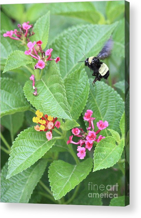 Bee Acrylic Print featuring the photograph Beeing Amongst The Flowers by Carol Groenen