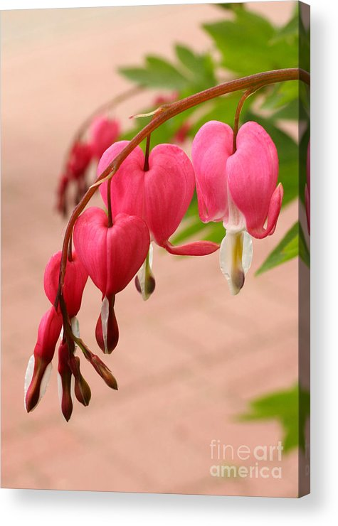 Flower Acrylic Print featuring the photograph Bleeding Hearts In The Park by Steve Augustin