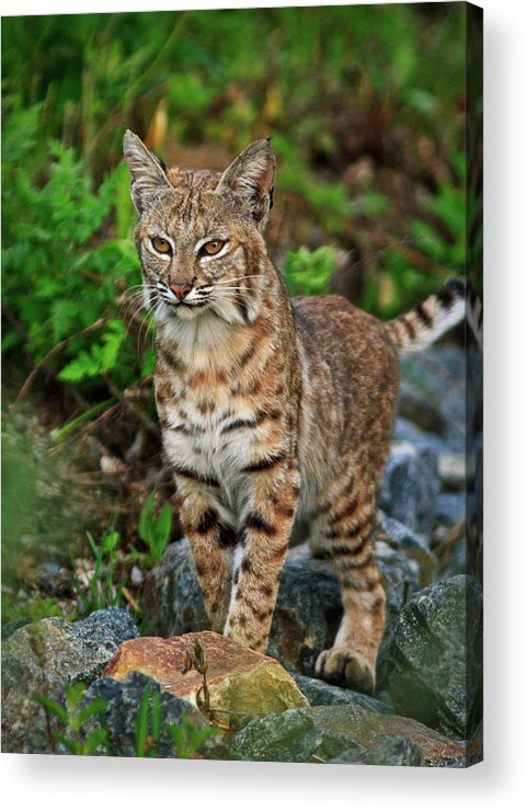 California Acrylic Print featuring the photograph Bobcat by Carl Jackson