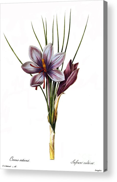 1833 Acrylic Print featuring the photograph Botany: Saffron by Granger