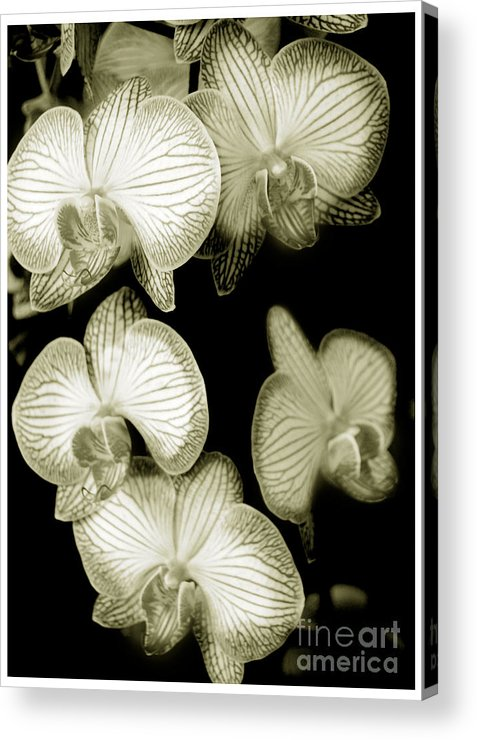 Nature Acrylic Print featuring the photograph Butterfly-orchids by Son Of the Moon