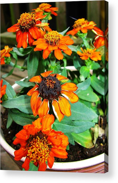 Flowers Acrylic Print featuring the photograph Cascading Orange by Nikki Mansur