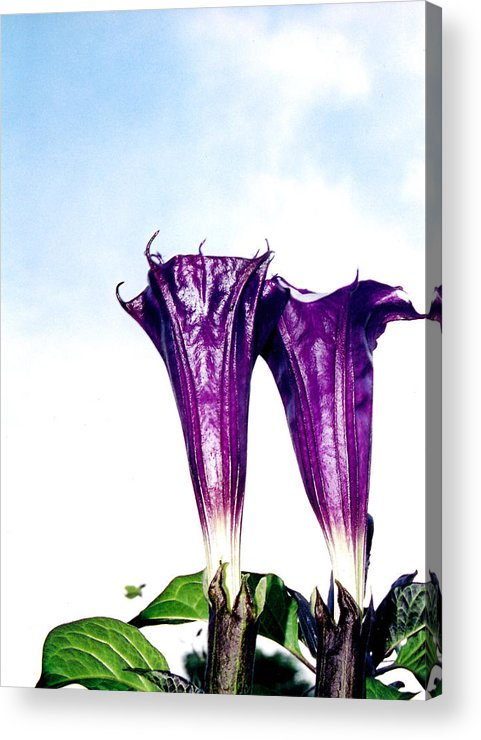 Flowers Acrylic Print featuring the photograph Datura Koluh by Vah Pall