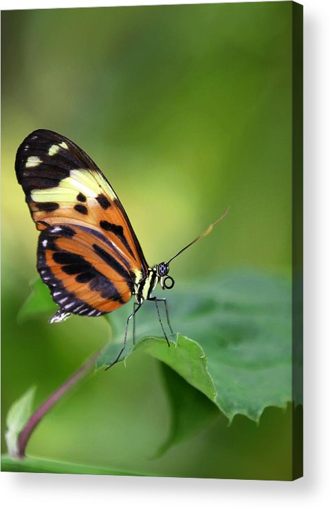 Butterfly Acrylic Print featuring the photograph Delicate Butterfly by Sabrina L Ryan