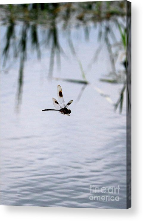 Dragonfly Acrylic Print featuring the photograph Flying Dragonfly Over Pond With Reeds by Carol Groenen
