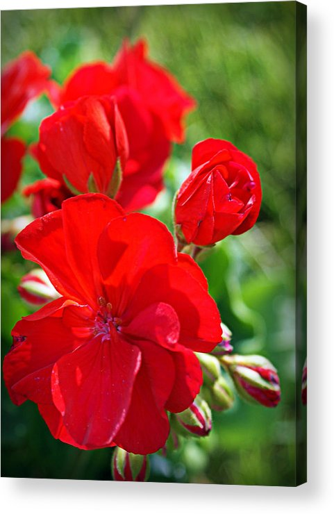 Red Acrylic Print featuring the photograph Geraniums by Cricket Hackmann