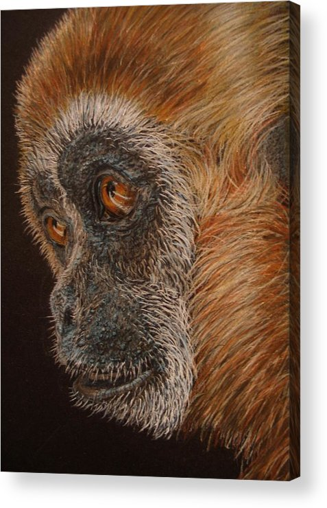 Animals Acrylic Print featuring the drawing Gibbon by Karen Ilari