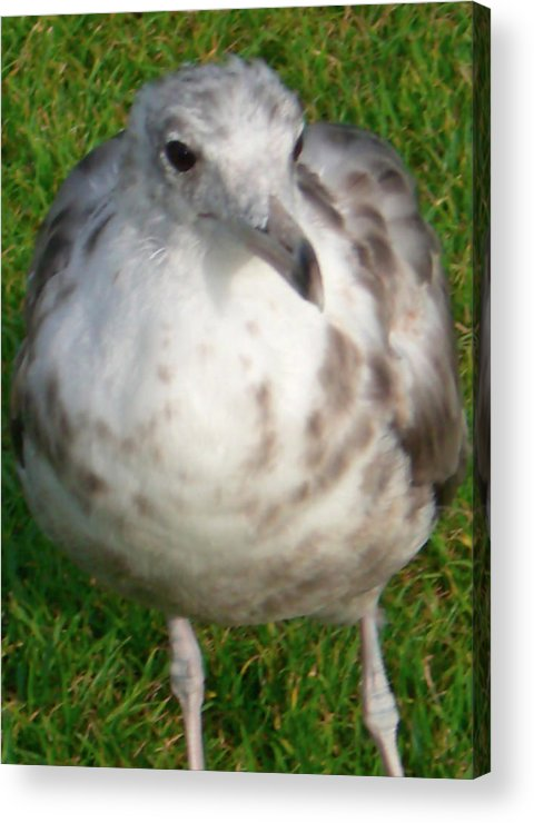 Seagull Acrylic Print featuring the photograph Hello Friend V by Pam Ellis