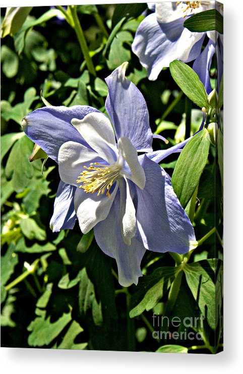 Floral Acrylic Print featuring the photograph Light Blue by Robert Sander