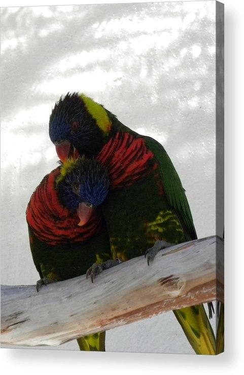 Bird Acrylic Print featuring the photograph Loving Lorikeets by Janet Dickinson