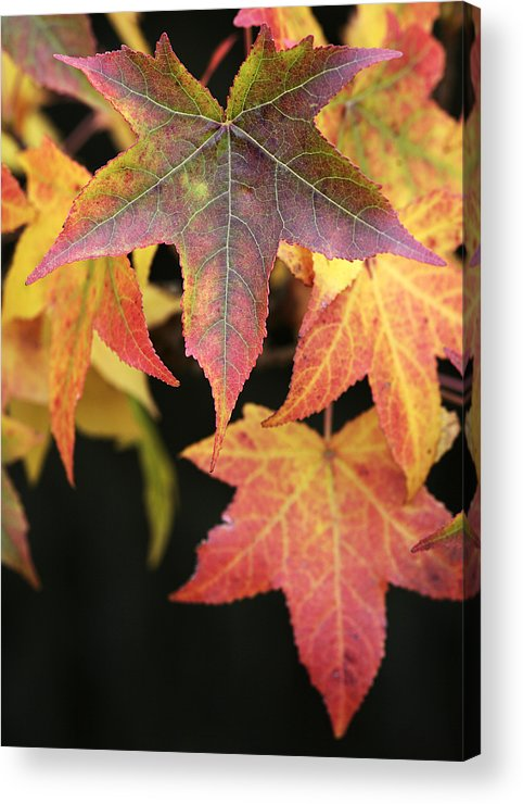 Maple Acrylic Print featuring the photograph Maple Leaves by Neil Overy