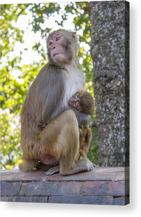 Monkey Acrylic Print featuring the photograph Monkey Mom by Corey Chimko