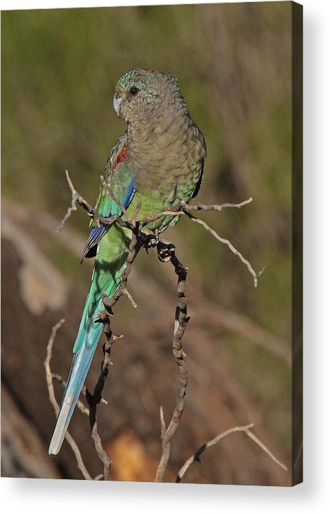 Parrot Acrylic Print featuring the photograph Mulga Parrot Female by Tony Brown