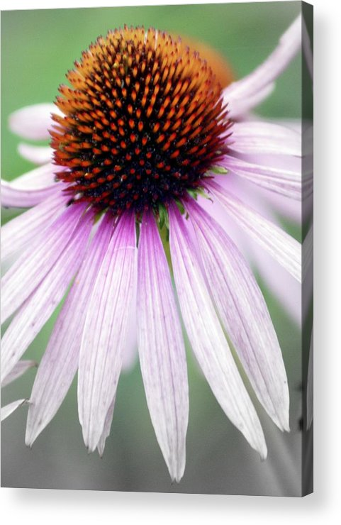 Flowers Acrylic Print featuring the photograph Pale Grey by Marty Koch
