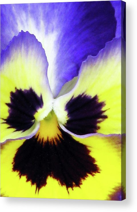 Pansy Acrylic Print featuring the photograph Pansy 10 - Thoughts Of You by Pamela Critchlow