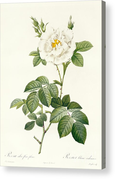 Rosa Acrylic Print featuring the drawing Rosa Alba Flore Pleno by Pierre Joseph Redoute